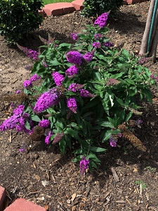 Dwarf Butterfly Bush